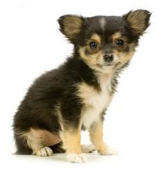 Different Types of Chihuahua #chihuahua