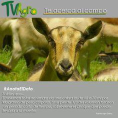 #AnotaElDato Sabías que el nivel de sangre en las cabras va de acuerdo a su peso.