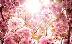 Baumblüte Werder 1016