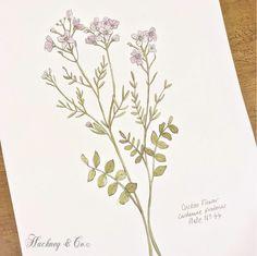 ©Hackney & Co Day 44 Cuckoo Flower #cuckooflower #watercolour #art #design #botanicalprints #floralprint #orkneywildflowers #100daysofillustration,#hackneyandco100days #illustration #inktober2016