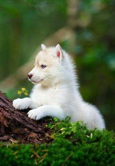 """j-k-i-ng: """"Husky Puppy In A Wild Forest"""" von - Tiere Cute Husky Puppies, Husky Puppy, Adorable Puppies, Funny Puppies, Wolf Puppies, Wolf Dog Puppy, Cute Puppy Breeds, Mastiff Puppies, Dogs"""