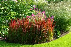 Imperata cylindrica 'Red Baron'  combined natuaral garden