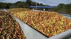#Manzanas #apples para elaborar esa sidra natural #naturalcider #hardcider en el Llagar Castañón