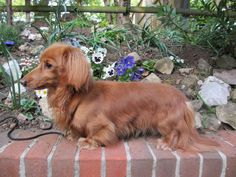 Red Miniature Long Haired Dachshund