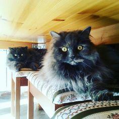 #cats#see#chear#blat#hair