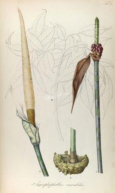 amorphophallus variabilis      ...