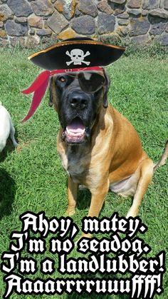National speak like a pirate day. I'm no seadog. I'm a landlubber! #mastiff #englishmastiff #bigdog #gentlegiant #mastiff_happy #dog