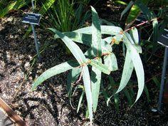 Eucalyptus pyrocarpa - Juli 2017