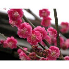 Prunus mume 'Kobai' - red Japanese flowering apricot
