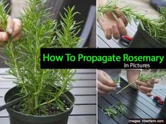 rosemary plant propagation from cuttings