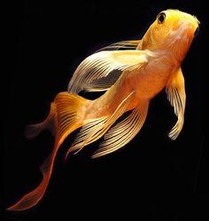 Afbeeldingsresultaat voor ماهی کوی باله بلند