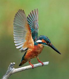 翠鳥.攝於台灣 台北市 關渡 River Kingfisher, taken at Guandu, Taipei City, TAIWAN