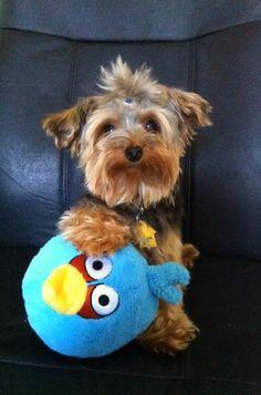 Hartz fan Mochi loves #AngryBirds !