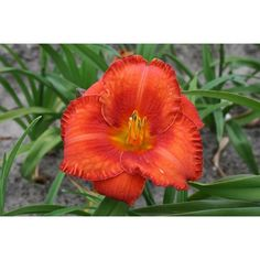 Daylily Wassaw Island - T M D Re F bloom. Intense nectarine orange bloom with a dark orange eye. A real attention grabber. Plant in mass to make a serious statement in the garden. Potted in pot. Reblooming Daylilies, Day Lilies, Garden Beds, Perennials, Peonies, Lily, Eye, Orange, Dark