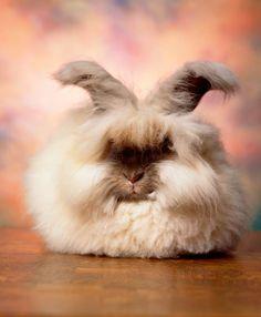 Le monde étonnant des lapins angoras