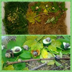 A Home for Snails! Seeing that the children were so interested about snails, we made them a home in our classroom's sensory table. We went to the library and found a book about snails. We learned about what they eat and where they live. We then went outside and collected materials to create their habitat in our classroom. We found dried grass outside as well as live green grass, we collected different types of leaves and sticks.