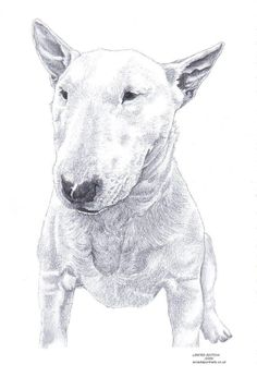 BULL TERRIER 1 dog Limited Edition art drawing print signed