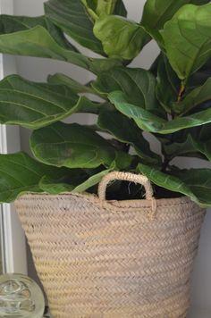 Fiddle Leaf Fig - Nesting Place