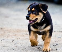 It is a lovely day for a walk, dont you agree Mr. Bernese puppy?