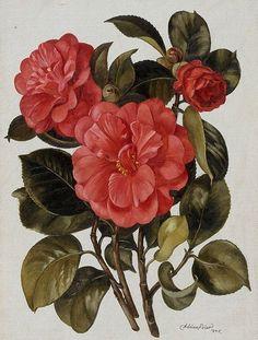 Adrian Feint (Australian, 1894 – 1971) - Red camellia, 1945