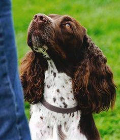 I am looking for a breader, I want the VIBBERT FAMILY to wake up to this Christmas morning English Springer Spaniel Chien Springer, Springer Dog, Black Lab Puppies, Dogs And Puppies, Corgi Puppies, Dogs 101, Doggies, Dog Grooming Business, Spaniel Puppies