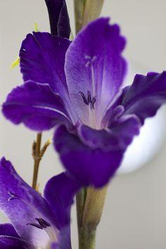 Gladioli | by wanderingnome