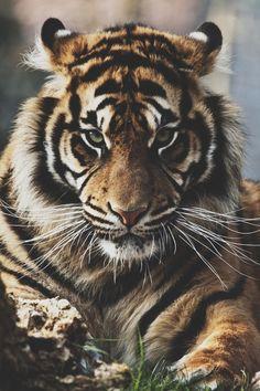 #tigre