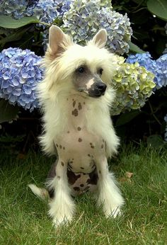 Chinese Crested Dog - Fashion by Angels z Andelovy dlane, Male hairless