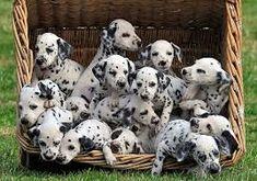 Resultado de imagem para cachorros filhotes mais lindos mundo