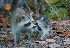 Raccoon kiss