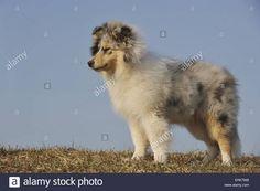 longhaired-collie-puppy-ERK7WB.jpg (1300×955)