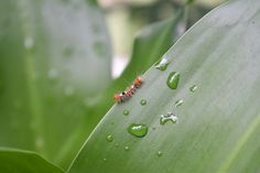 A Tiny Caterpillar at Dewy Leaf