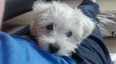 Kay West's Westie-Poo puppy, Banksy. Looks a little like Hobbs in this photo I think.