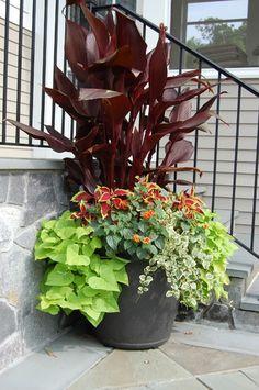 Graceful Grasses® Vertigo®   Purple Fountain Grass   Pennisetum Purpureum |  Vertigo, Grasses And Landscaping