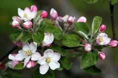 Apple Blossom pic...next tattoo!