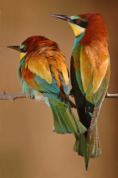 bee eaters by Francisco Hoyos Pretty Birds, Beautiful Birds, Animals Beautiful, Exotic Birds, Colorful Birds, Tropical Birds, All Birds, Love Birds, Bee Eater