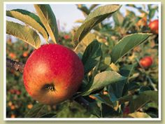 Beak & Skiff Apple Hill: Pick-Your-Own Orchard Apple Farm, Apple Orchard, Ny Food, Durham Region, Apple Seeds, I Love Ny, Apple Crisp, Scented Candles, Apple Cider