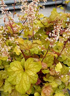 Klehm's Song Sparrow Farm and Nursery--Shade Perennials--Heuchera 'Champagne' PPAF