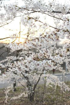 cherry blossoms are the most loveliest thing