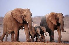 african animal family - Google Search