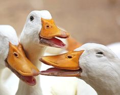 Pato Animal, Ducks, Laughing, Water Colors