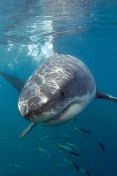Great White Shark, such a cutie! #sharkweek Cammarata Pediatric Dentistry | #Houston | #TX | www.kids-teeth.com