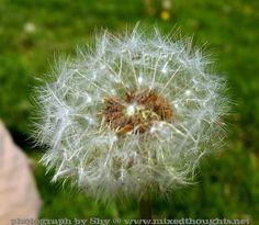 Dandelion http://www.nostalgictravelsandphotoblog.com