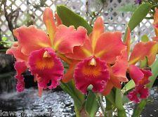 139) 2)plants-Pot. Susan Fender 'Cinnamon Stick' AM/AOS- The Best! Must Have!
