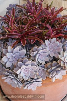 From my Sunset magazine article, How to Create a Sea-Creature Succulent Garden