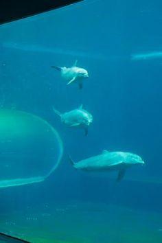 Acquario, #Genova, i delfini nella nuova vasca.