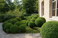 A buxus ball adds a 'full stop' to the planting bed near the Acers and as they stay evergreen they will be visible all year round.