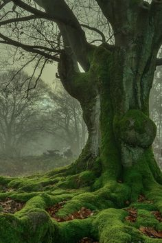 Loving the moss on this majestic tree of legend and lore.