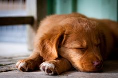 Picking a puppy... hey little Nova Scotia Duck Tolling Retriever, maybe I'll take you home with me?