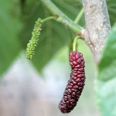 Pakistani Mulberry. Fruits appears on tree in March, ripe in April.  I prefer the flavor of the Persian Mulberry by far.  Planted 1/2010